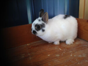 Pure bred Netherland Dwarf and Holland Lop rabbits for sale
