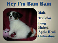 I'm BamBam - Long Haired Chihuahua