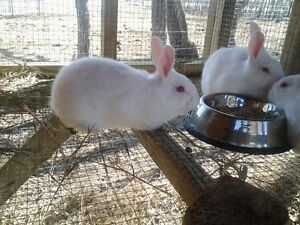 WANTED-- LOOKING FOR A PUREBRED BREEDER OF NEW ZEALAND RABBITS