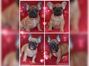 ❤️Purebred Registered French Bulldog Puppies ❤️