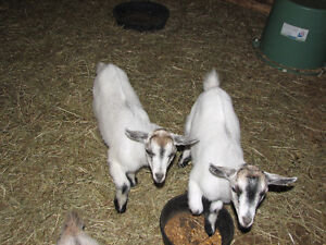 Pygmy goats ready to go to their forever home