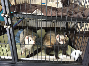 2 ferretts with cage for sale $350