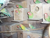 LOVE BIRDS FOR SALE NEW BABIES ARE READY