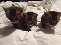 Bengal Cubs available