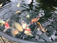 Koi carp, pond, filters and other pond accessories