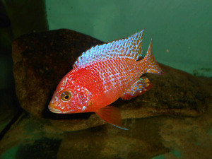 African  Cichlids  for sale..Peacocks   New YEAR  specials