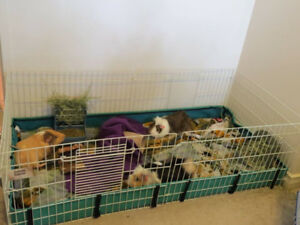 Male Guinea Pigs Must Go ASAP
