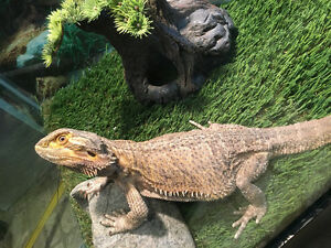 Bearded Dragon for sale/rehoming