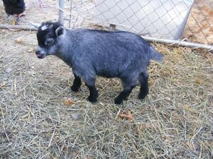 Mini Goat Buck 3 years proven producer Possible trade Kawartha Lakes Peterborough Area image 5