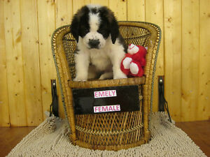 PUREBRED SAINT BERNARD PUPPIES""