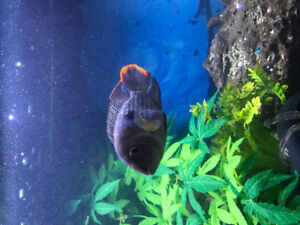 5-6 inch Green Terror Cichlid for sale.