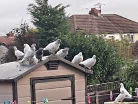 High Fly Pigeons