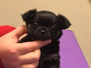 CKC REG CHIHUAHUA LONG COAT MALE ( pet only)