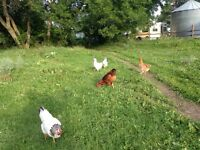 Organic Laying hens for sale