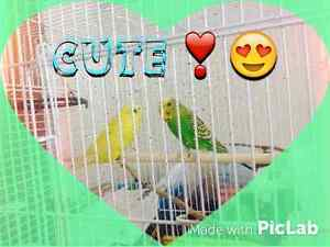 Budgies. Need a 4EVER home!!