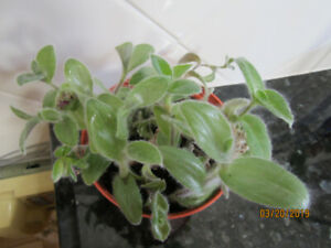 Wandering Jew Green Fuzzy - Air Purifier - (Hanging Plant)