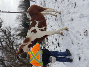 Paint QH cross gelding for sale