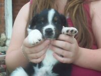 Beautiful Aussie X puppies for sale