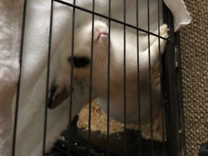 Dwarf x lion head rabbit & cage for sale