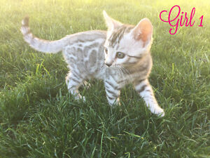 Stunning Exotic Tica registered silver Bengal kittens