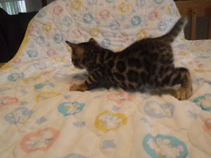 Top Quality Bengal Kittens