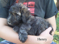 F1B Labradoodle Puppies, Black and Brindle -1 girl, 2 boys left!
