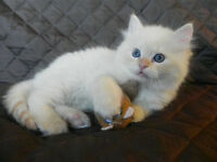 Luxurious Creampoint Persian/Ragdoll Kitten Available