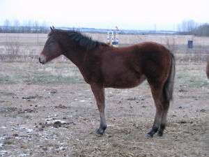 Yearling AQHA Bay Filly For Sale