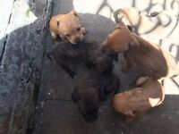 Staffy x red bully terrier puppies