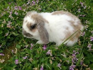 purebred holland lop bunny baby girl