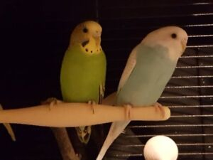 2 budgie bird's Looking for a loving home