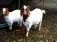 Boer goats all sizes for sale