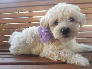 ××TWO FEMALE MALTIPOO PUPPIES××