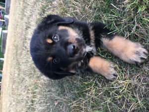 Bernese/ Rottweiler Puppy for rehoming