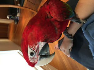 1 year old Green wing Macaw selling with its cage