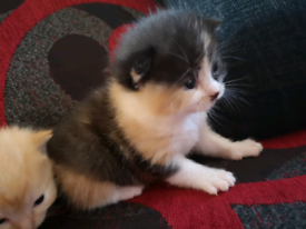 2 Fluffy Female Mix Breed Calico Kittens left!!!