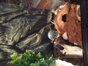 Leopard gecko female and supplies