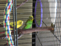 Budgies+Large Cage