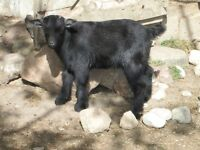Male Black Pygmy Goat for Sale