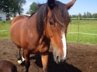 Jument clydesdale standardbred