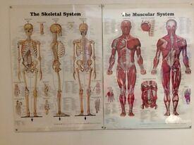 Human skeleton/muscle map