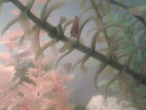 Cherry shrimp assorted platy and dalmation mollies