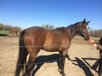 7 year old Registered Thoroughbred
