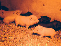 Pot Belly / Pot Bellied Piglets