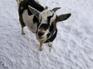 Nubian/Pygmy Crossed Goats