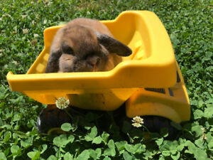 Pet Holland Lop looking for good home