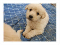 Goldendoodle Puppies Light gold / Blonde, low to non shedding!