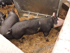 Berkshire Butcher Hogs for Sale