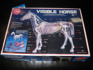 Horse model see through with organs