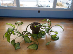 Healthy Dieffenbachia with pot (Tropical plants)